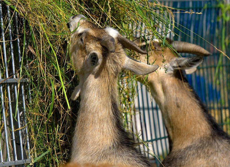 cara-penggemukan-kambing