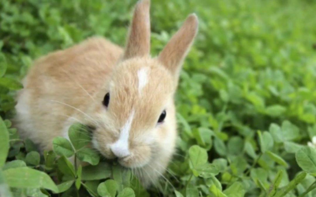 Rumput Makanan Kelinci yang  Efisien bagi Anda yang Tidak Mau Boros