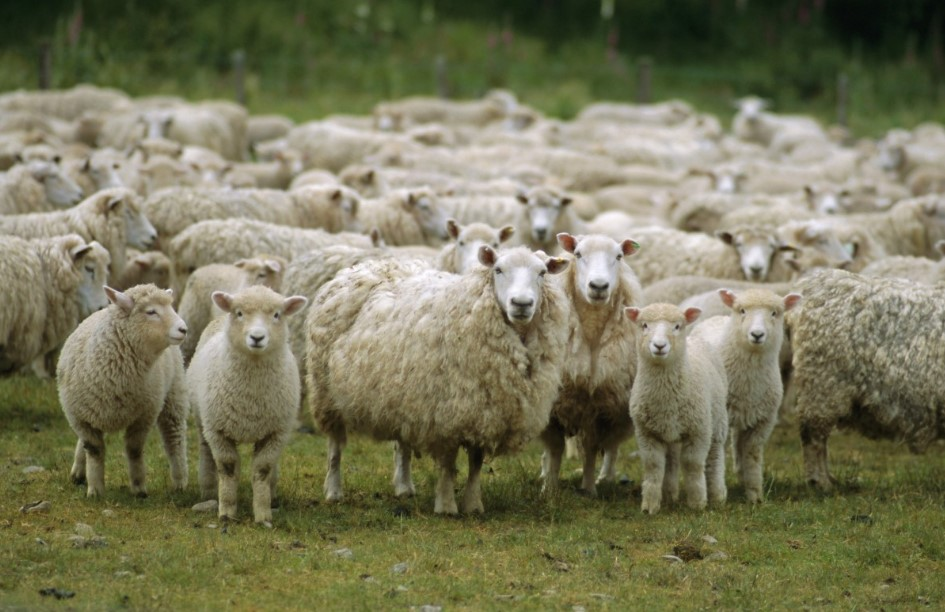 Cara Ternak Domba Untuk Pemula Yang Menguntungkan